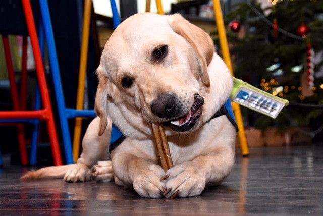 Didcot guide dog at Berro Lounge. Photo courtesy of Mark Knight