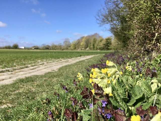 Cowslips, East Hagbourne