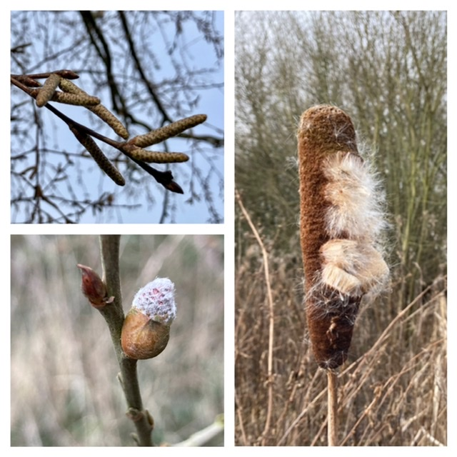 Catkins, buds and bullrush, Mowbray Field