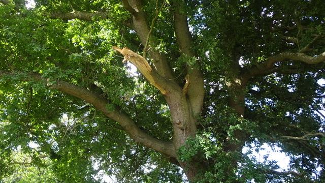 200 year old oak, Bluebell Lane, Stubbings Land © Geoff Bushell