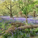 Bluebell woods near(ish) to Didcot