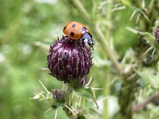 Ladybird on thistle head, Didcot