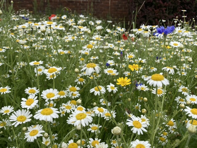 Didcot wild flowers