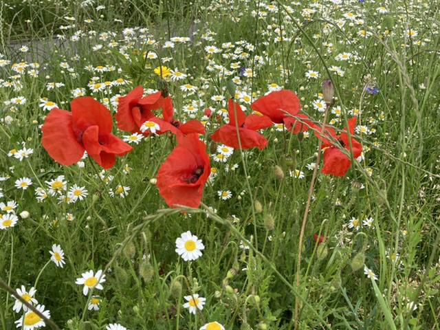 Poppies, Didcot
