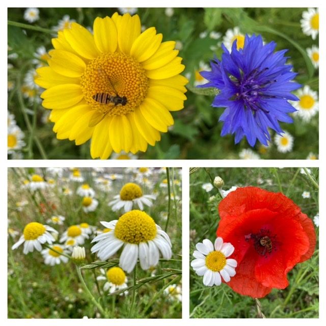 Corn marigold and cornflower (top row), corn chamomile (possibly) and poppy